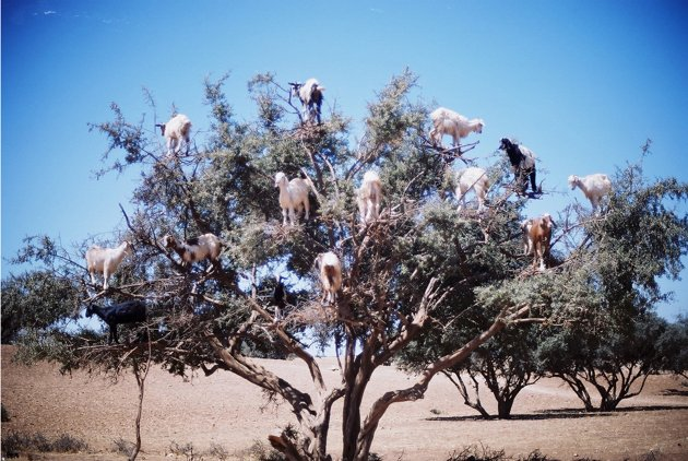 goats in tree3 (1)